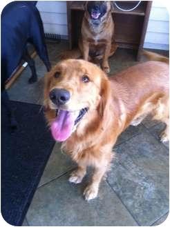 Golden Retriever Dog for adoption in Callahan, Florida - Tucker