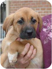 Shepherd (Unknown Type)/Beagle Mix Puppy for adoption in Baltimore, Maryland - Rolfe