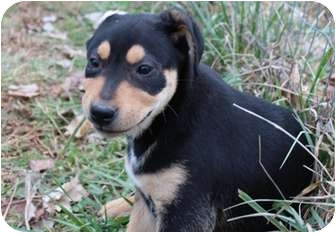 Australian Shepherd/Rottweiler Mix Puppy for adoption in Salem, New Hampshire - Toy