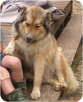 Collie Mix Dog for adoption in Spring Valley, New York - Jack  (URGENT) Reduced