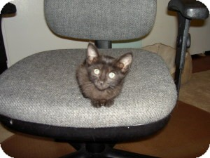 Domestic Shorthair Kitten for adoption in Gilbert, Arizona - Olivia