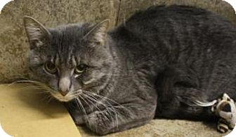 Domestic Shorthair Cat for adoption in West Des Moines, Iowa - Hamlet