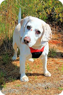 Beagle Mix Dog for adoption in Manahawkin, New Jersey - Peaches