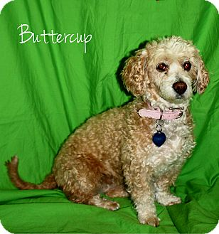 Poodle (Toy or Tea Cup)/Terrier (Unknown Type, Small) Mix Dog for adoption in Ogden, Utah - Buttercup