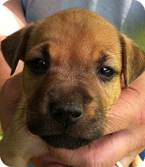 Boxer/Labrador Retriever Mix Puppy for adoption in Wappingers, New York - Lily