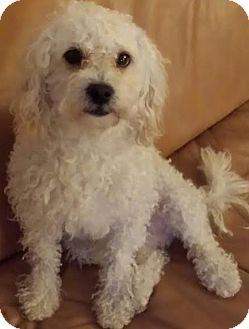 Poodle (Miniature) Mix Dog for adoption in Encino, California - Milo