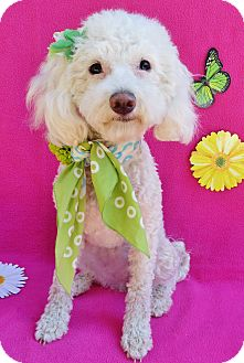 Maltese/Poodle (Miniature) Mix Dog for adoption in Irvine, California - Indie Girl