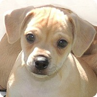 Adopt A Pet :: Bruiser - La Habra Heights, CA