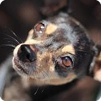 Adopt A Pet :: Poco - Justin, TX