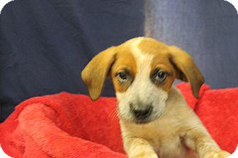 Hound (Unknown Type) Mix Puppy for adoption in Waldorf, Maryland - Crimson