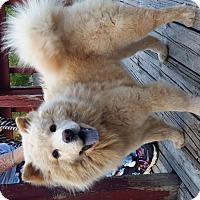Adopt A Pet :: Ginger - Holland, MI
