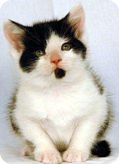 Domestic Shorthair Kitten for adoption in Newland, North Carolina - Raindrop