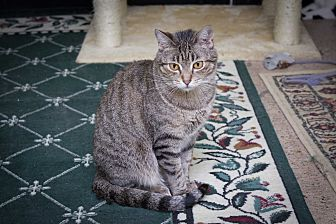 Domestic Shorthair Cat for adoption in Chicago, Illinois - Selena