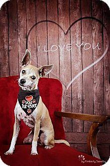 Chihuahua/Basenji Mix Puppy for adoption in Rancho Cucamonga, California - Maverick