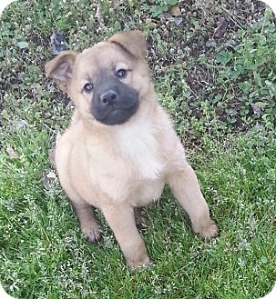 Shepherd (Unknown Type)/Labrador Retriever Mix Puppy for adoption in Buffalo, New York - Bree