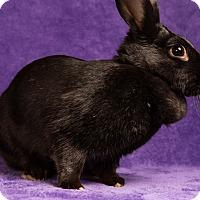 Adopt A Pet :: Raven - Lewisville, TX