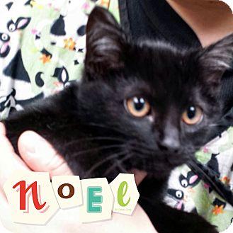 Domestic Shorthair Kitten for adoption in Manitowoc, Wisconsin - *Noel*