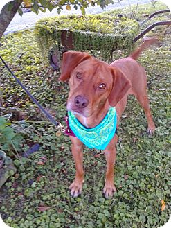 Retriever (Unknown Type)/Beagle Mix Dog for adoption in Princeton, Kentucky - Cary