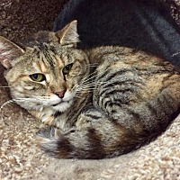 Domestic Shorthair Cat for adoption in Wilmington, Delaware - Neptune