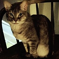 Domestic Shorthair Cat for adoption in Montreal, Quebec - Melody