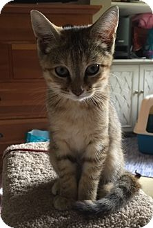 Domestic Shorthair Kitten for adoption in Covington, Kentucky - Celia