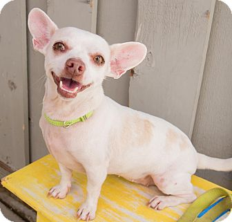 Chihuahua/Dachshund Mix Dog for adoption in Sonoma, California - Rose