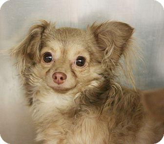 Chihuahua Mix Dog for adoption in Canoga Park, California - Max