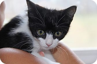 Domestic Mediumhair Kitten for adoption in tampa, Florida - Jackie KITTEN