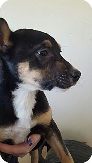 Chihuahua/Miniature Pinscher Mix Dog for adoption in Yelm, Washington - Licorice
