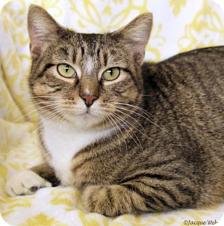 Domestic Shorthair Cat for adoption in St Louis, Missouri - Chloe