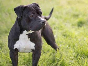 Pit Bull Terrier Dog for adoption in Los Angeles, California - DANTE