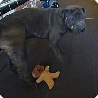 Adopt A Pet :: Bella - pending - Apple Valley, CA