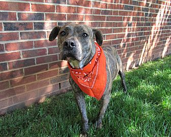 American Pit Bull Terrier Mix Dog for adoption in Lexington, North Carolina - Harley