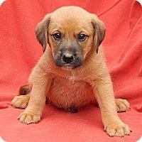 Adopt A Pet :: Achilles (5 lb) Video - Williamsport, MD