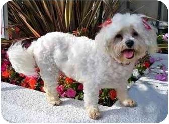 Bichon Frise/Maltese Mix Dog for adoption in Los Angeles, California - BESSIE