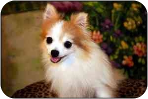 Pomeranian Dog for adoption in conroe, Texas - Gracie