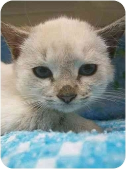 Siamese Kitten for adoption in Spruce Pine, North Carolina - Dolce