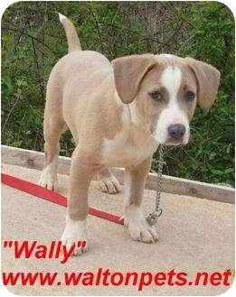 Labrador Retriever/Basset Hound Mix Puppy for adoption in Monroe, Georgia - Wally