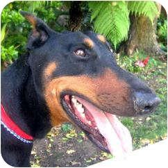 Doberman Pinscher Dog for adoption in Fillmore, California - Lady
