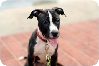 American Pit Bull Terrier Mix Puppy for adoption in Reisterstown, Maryland - Oreo
