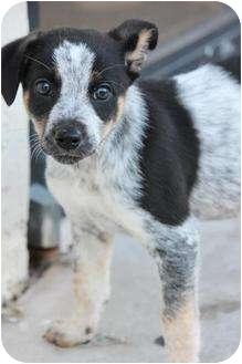 Australian Cattle Dog Mix Puppy for adoption in Boynton Beach, Florida - Ariel