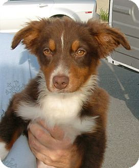 Australian Shepherd Puppy for adoption in El Segundo, California - Ethan