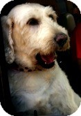 Labradoodle Mix Dog for adoption in Loveland, Colorado - Lily