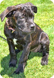 Cane Corso/Mastiff Mix Puppy for adoption in Phoenix, Arizona - Cara