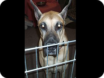 Great Dane Dog for adoption in Phoenix, Arizona - Bernie