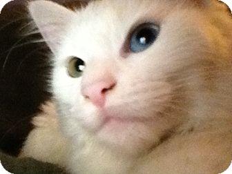 Turkish Van Cat for adoption in Gustine, California - ADOPTION PENDING - KITTY