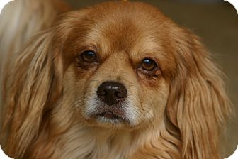 Tibetan Spaniel Mix Dog for adoption in Cantonment, Florida - Mr. Tibbs