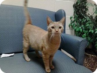 Domestic Shorthair Cat for adoption in Jackson, Michigan - Mary