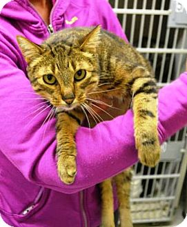 Abyssinian Cat for adoption in Indianola, Iowa - Monica