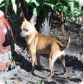Chihuahua Dog for adoption in Ormond Beach, Florida - Dixie